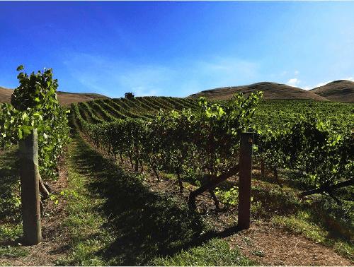 Silenis Pinot Noir Reben in Hawkes Bay