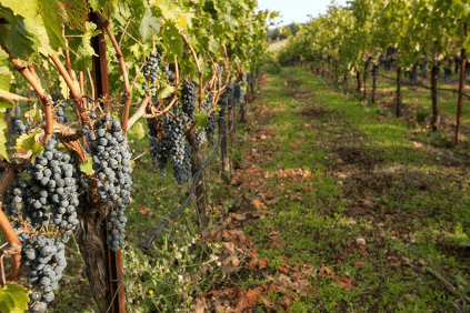 The vineyards today