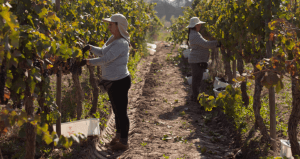 Harvest of the grapes for the Escudo Rojo