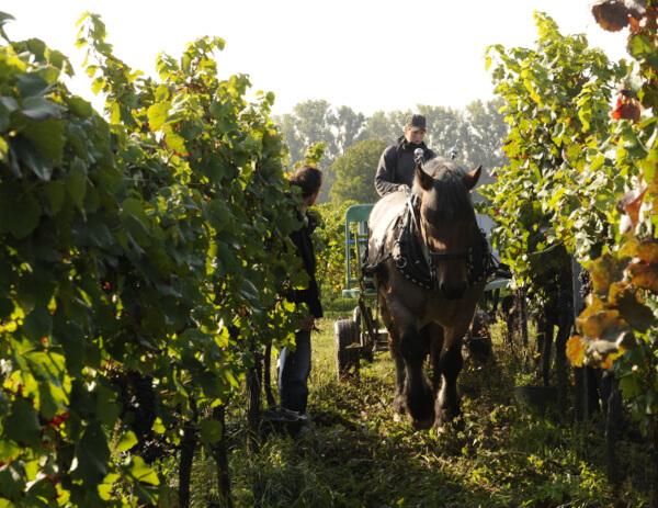 Horse in the vineyard of Berdolt-Reif & Nett