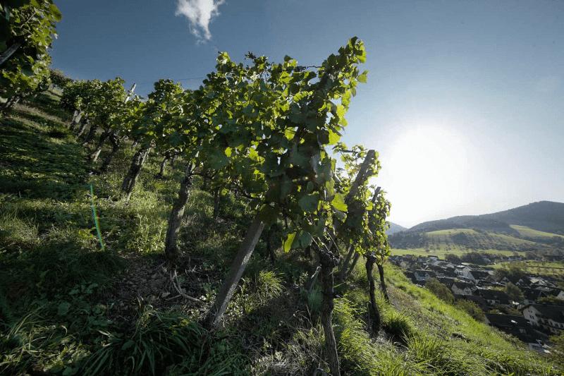 View over the Waßmerschen vineyard