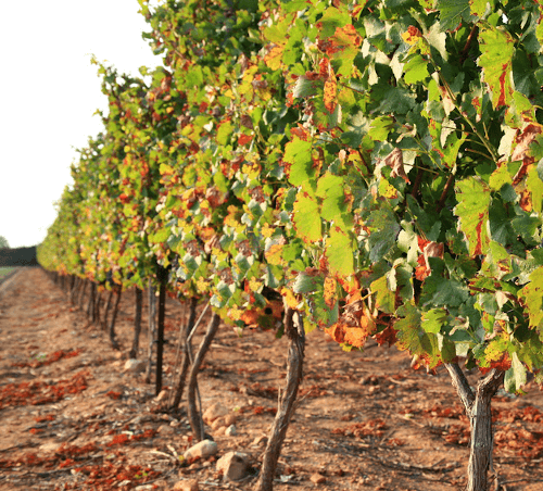 Die Weinstöcke von Les Jamelles im Herbst