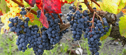 Ripe grapes in the vineyard
