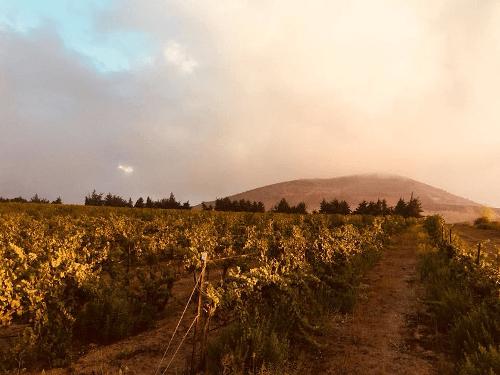 Rebzeilen von der Golan Heights Winery