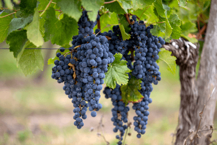 Merlot, one of the most important grape varieties of Bordeaux