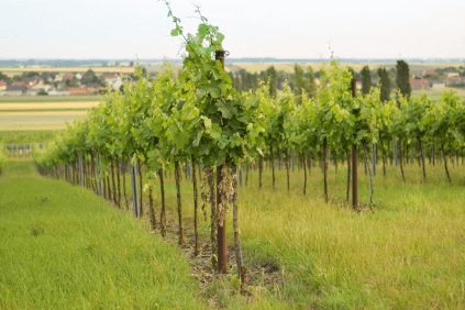 The vineyards of the Veit family