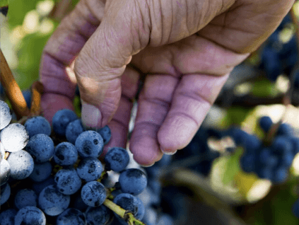 Red grapes, treasure of the Médoc