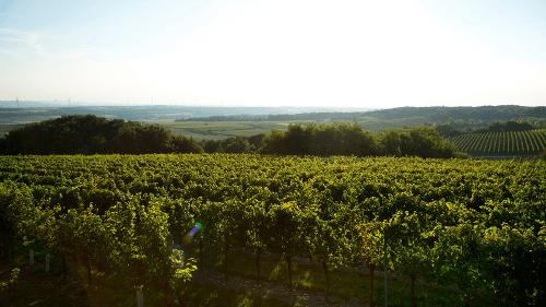 Rebstöcke von Weingut Glatzer im Carnuntum