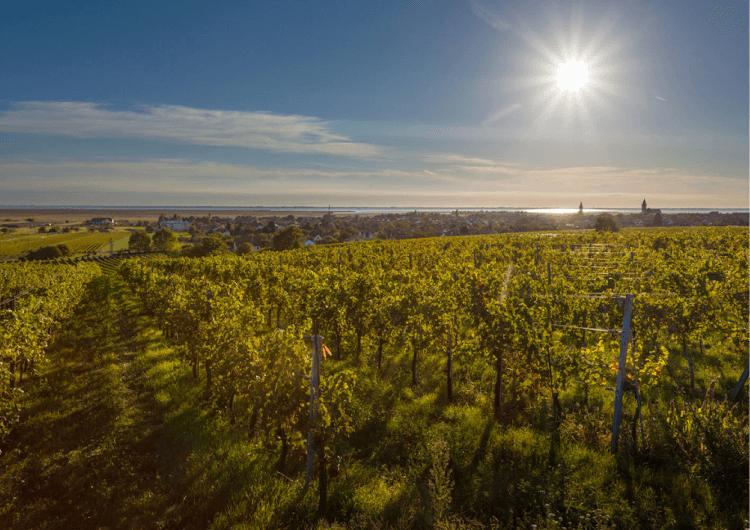 Ein Weingarten von Esterházy