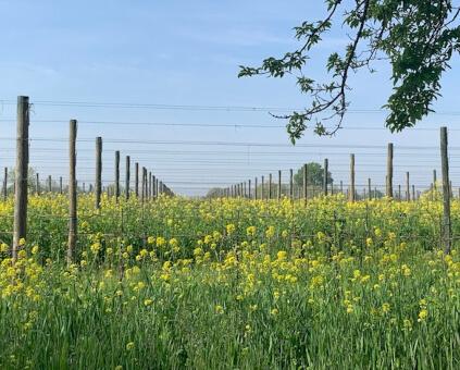 Gino Brisotto Nachhaltigkeit im Weinberg