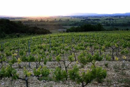 Vineyard in Plono, the gravel soils are clearly visible