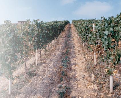 Weinstöcke von Bersano