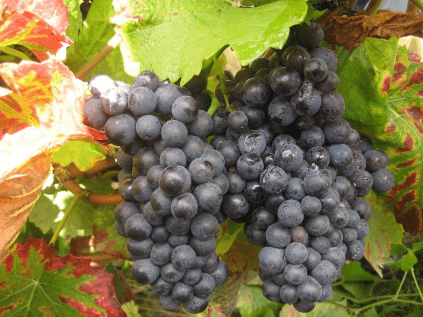 The Pinot Noir, the most important red grape variety in Sancerre