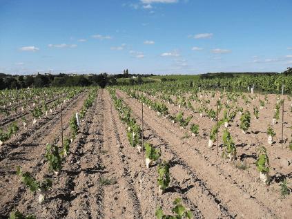 Vines of the Domaine Des Raillères