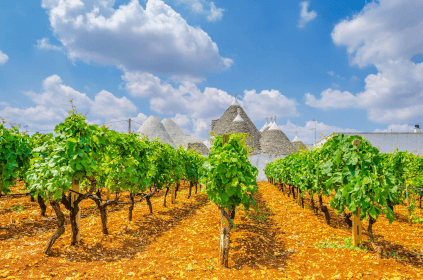 Vines in Apulia with the typical trulli in the background