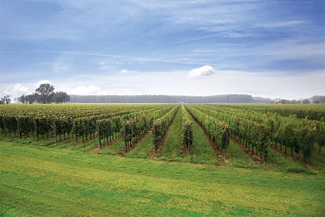 weitläufige Weingärten von Bosco del Merlo